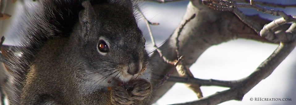 Rocky Mountain Squirrel